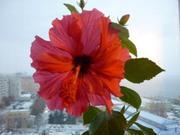 гибискус(китайская роза)