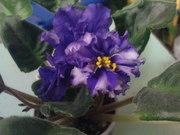 фиалки сортовые молодые цветущие