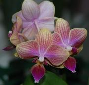 Орхидеи - мини фаленопсисы