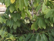 Азимина - съедобный банан. Растёт в Пятигорске.