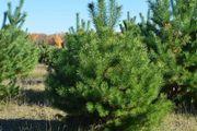 оптом живые сосны зеленые елки для новогодних праздников