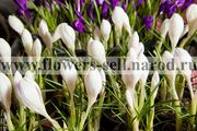 Крокусы – продажа цветов к 8марта. Горшечный цветок,  живой