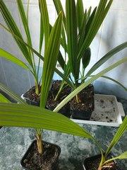 финиковые пальмы