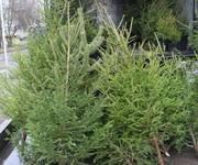 Продажа новогодних деревьев оптом