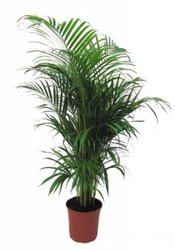 Пальма Хризалидокарпус 150-160 см
