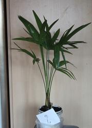 Пальмы веерные