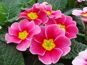 Цветы примула и крокус к 8 марта и 14 февраля 2018г.