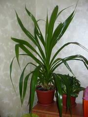 Комнатный цветок с узкими длинными листьями фото